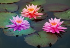 Photoshop test - waterlilies